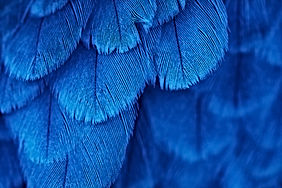 plumage background of bird close up.jpg