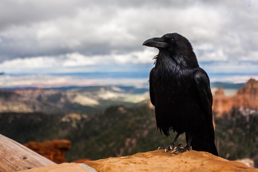 Crow in Los Alamos