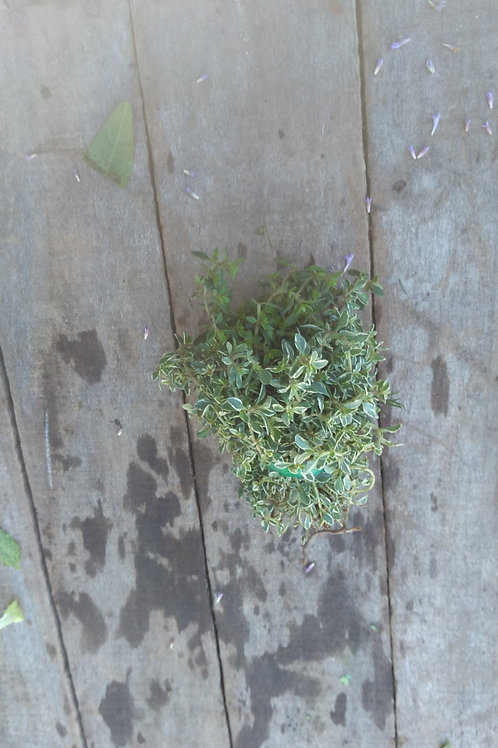 Lemon Thyme - 1 Bunch
