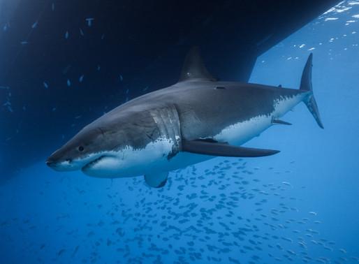 Desmistificando tubarões