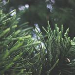 blur-close-up-conifers-246538.jpg