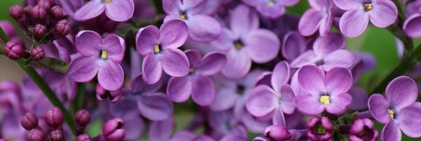 68138577-lilac-wallpapers.jpg