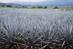 Agave in the Wild - Sweet.  Really Sweet.