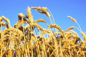 The Wheat Belly Diet: A Relatively Independent Perspective