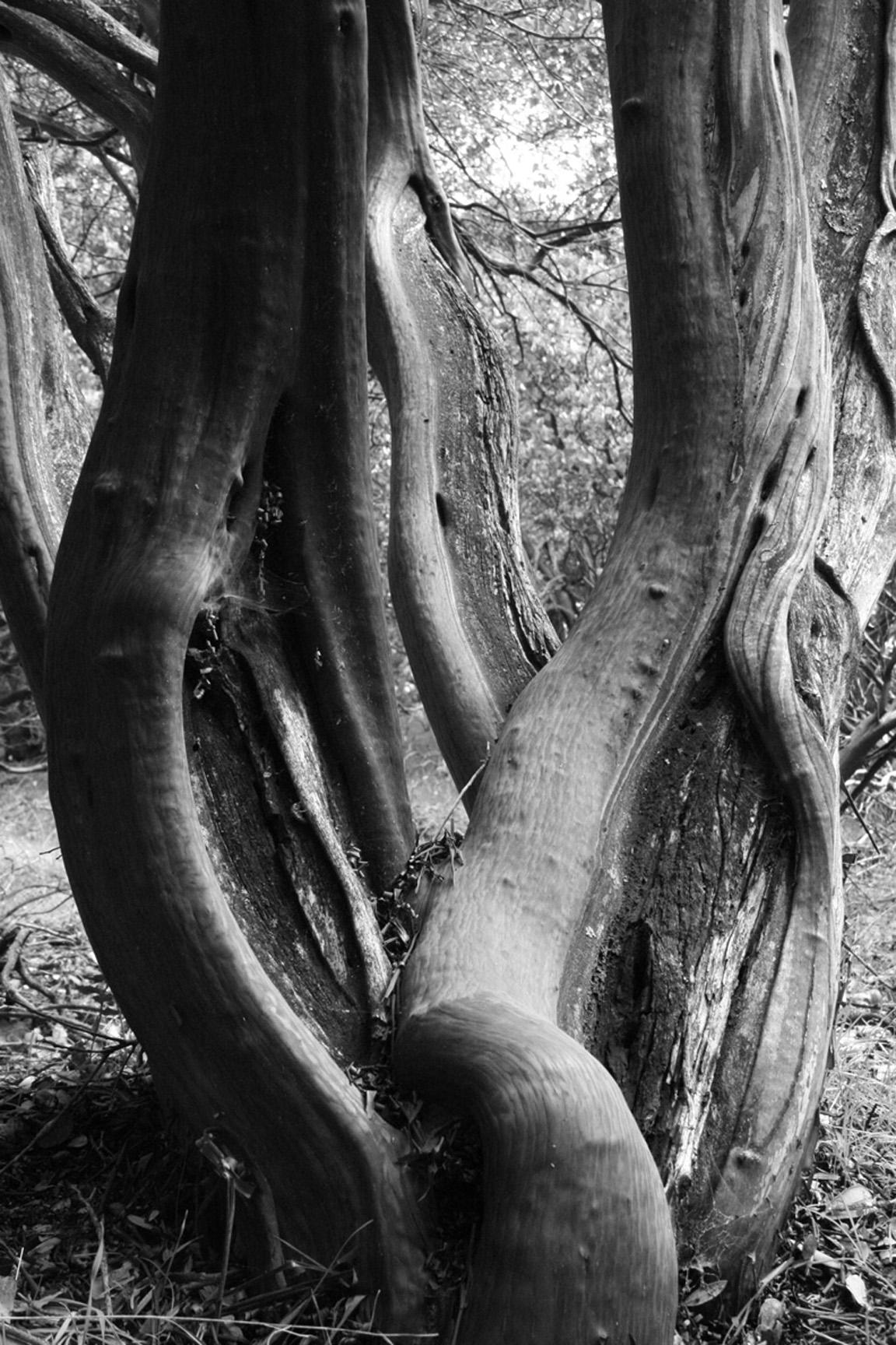 Manzanita.jpg