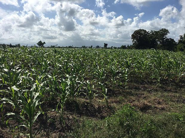 Corn (1).JPG