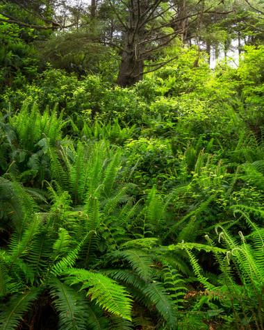 Cape Flattery Forest.jpg