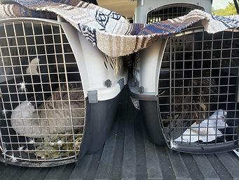 injured Suson geese.jpg