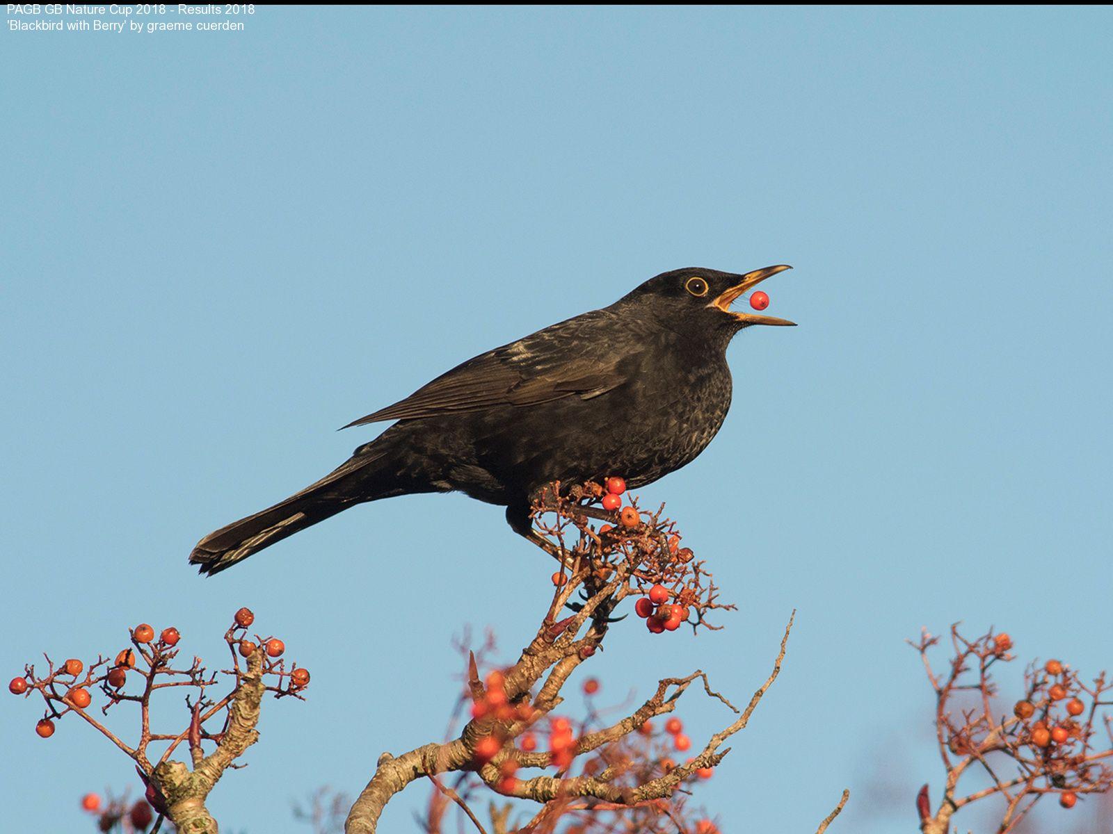 9382_graeme cuerden_Blackbird with Berry