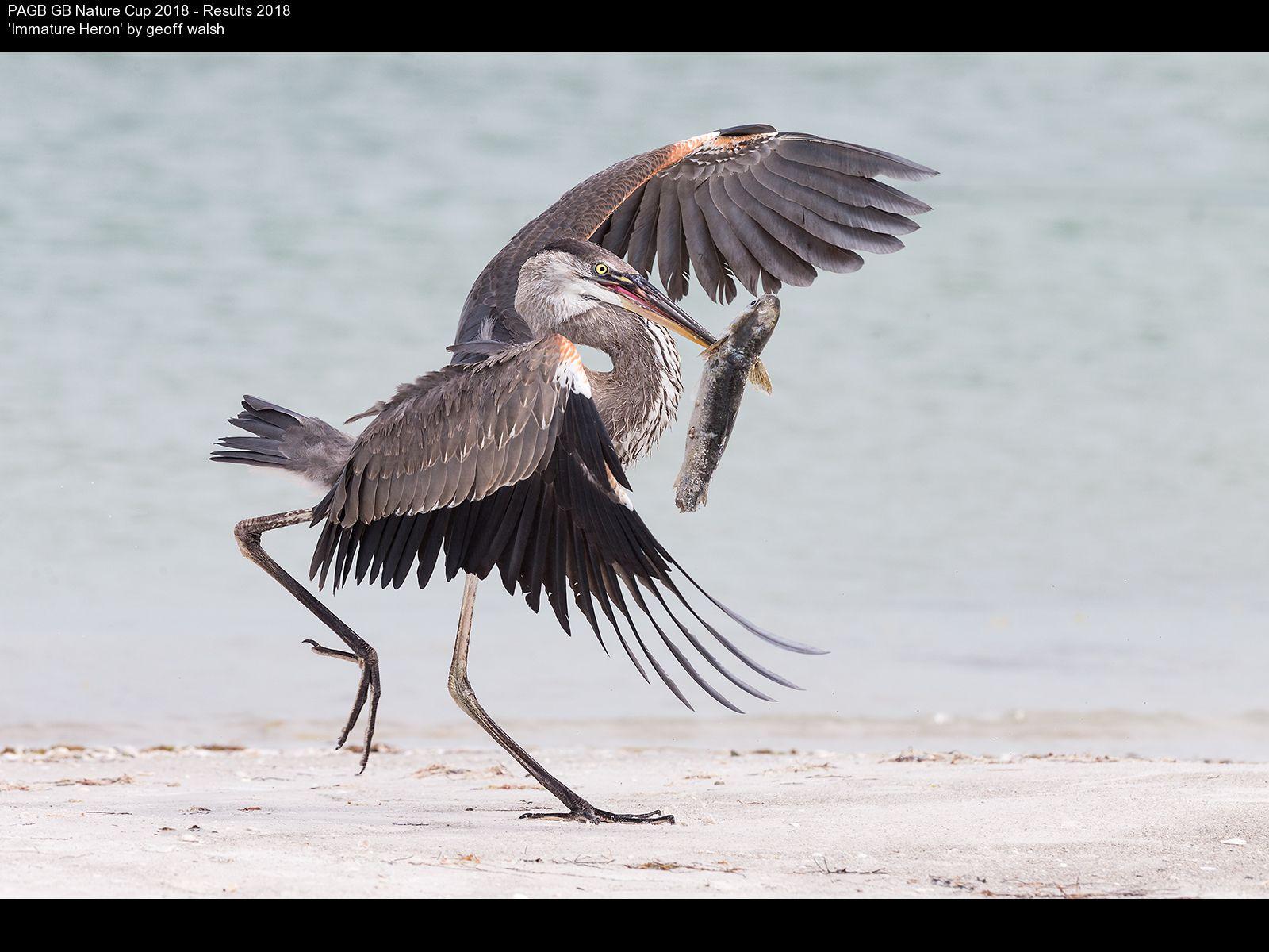 9376_geoff walsh_Immature Heron