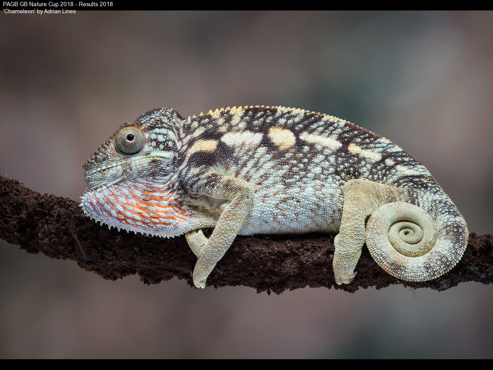 9392_Adrian Lines_Chameleon