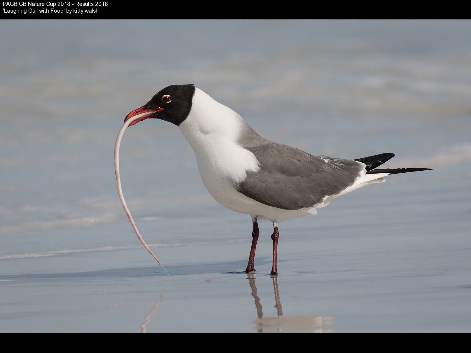 9378_kitty walsh_Laughing Gull with Food