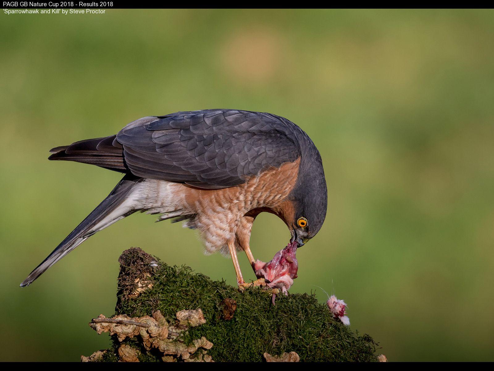 9388_Steve Proctor_Sparrowhawk and Kill