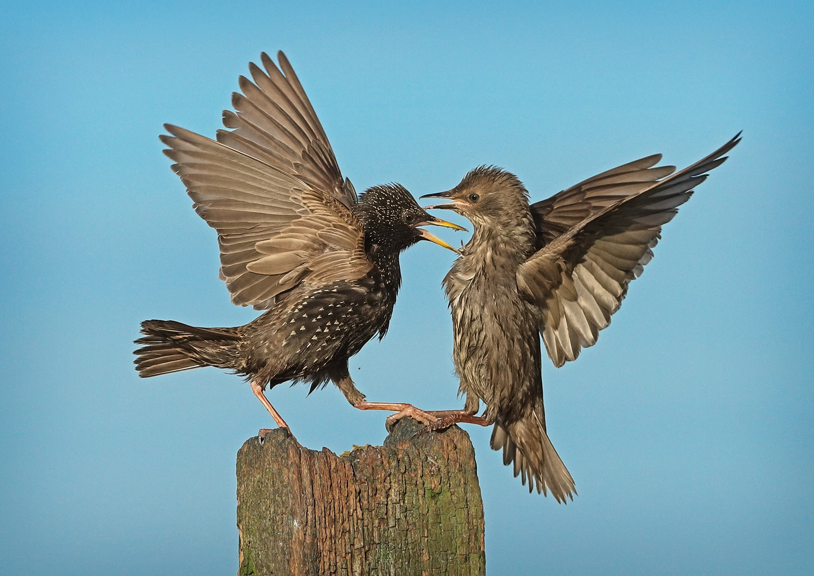 Roy Rimmer_Squabbling Starlings on Post