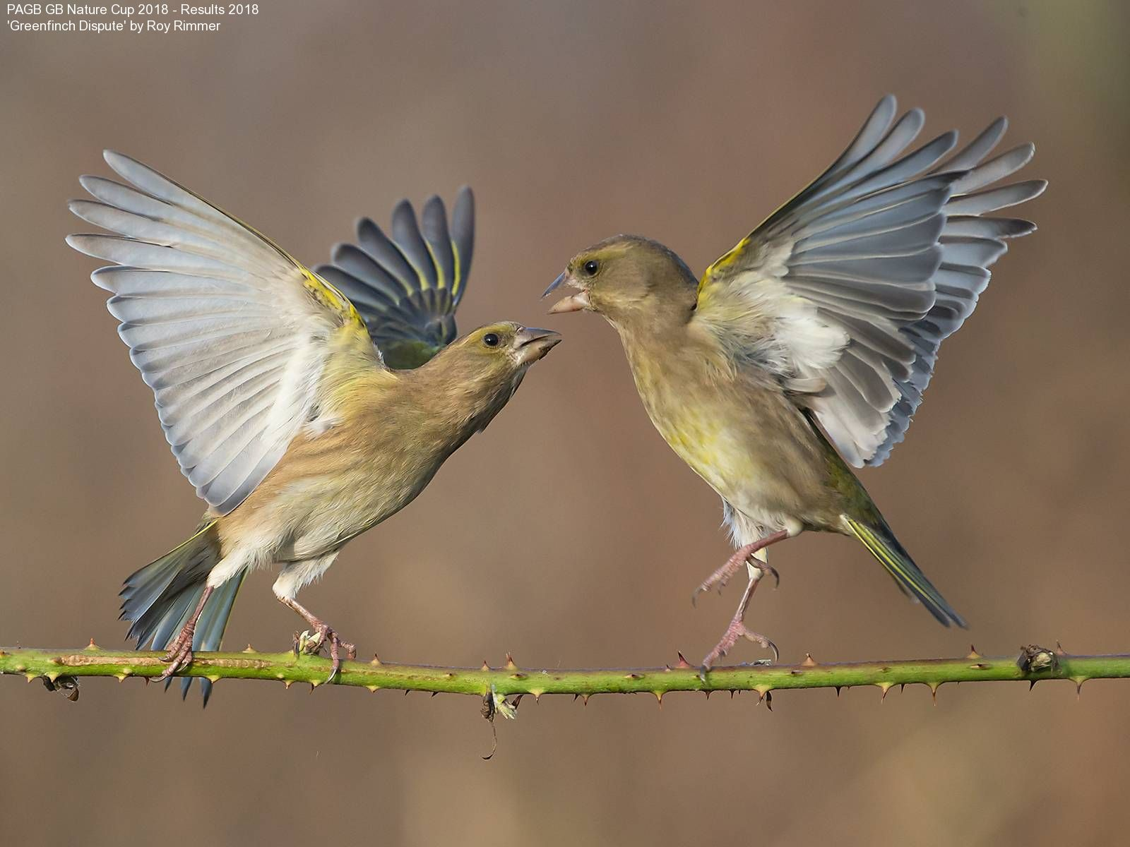 9373_Roy Rimmer_Greenfinch Dispute