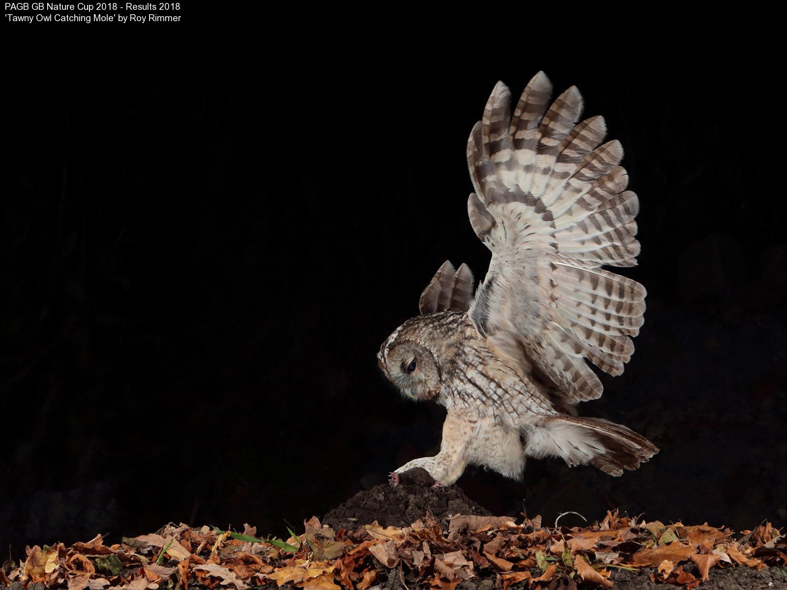 9372_Roy Rimmer_Tawny Owl Catching Mole