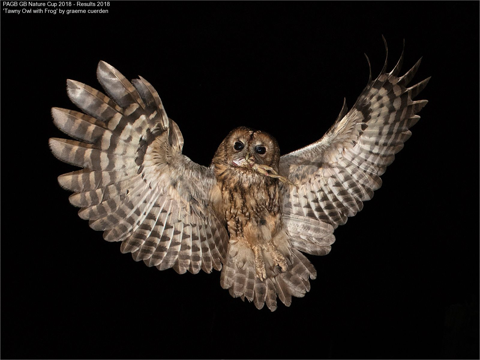 9381_graeme cuerden_Tawny Owl with Frog