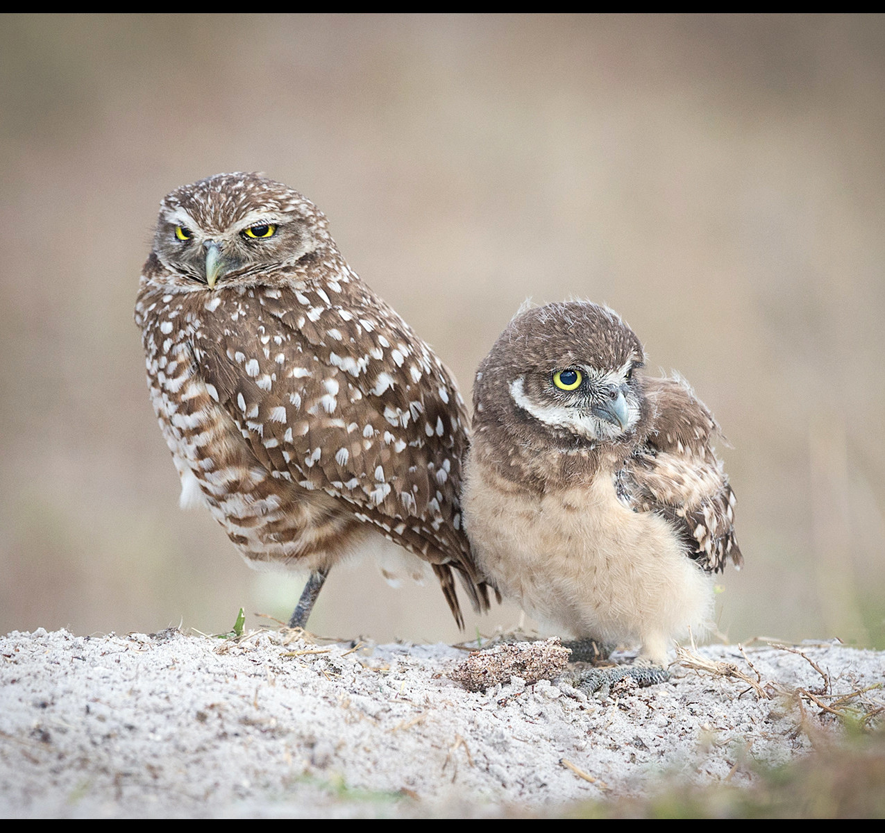 12132_kitty walsh_burrowing owl and chic