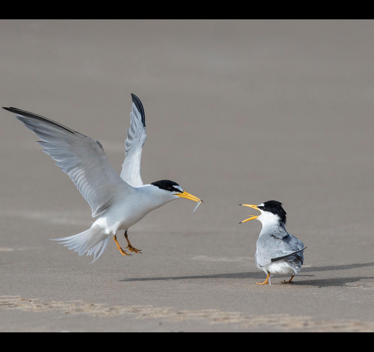 11916_geoff walsh_least terns courtship.