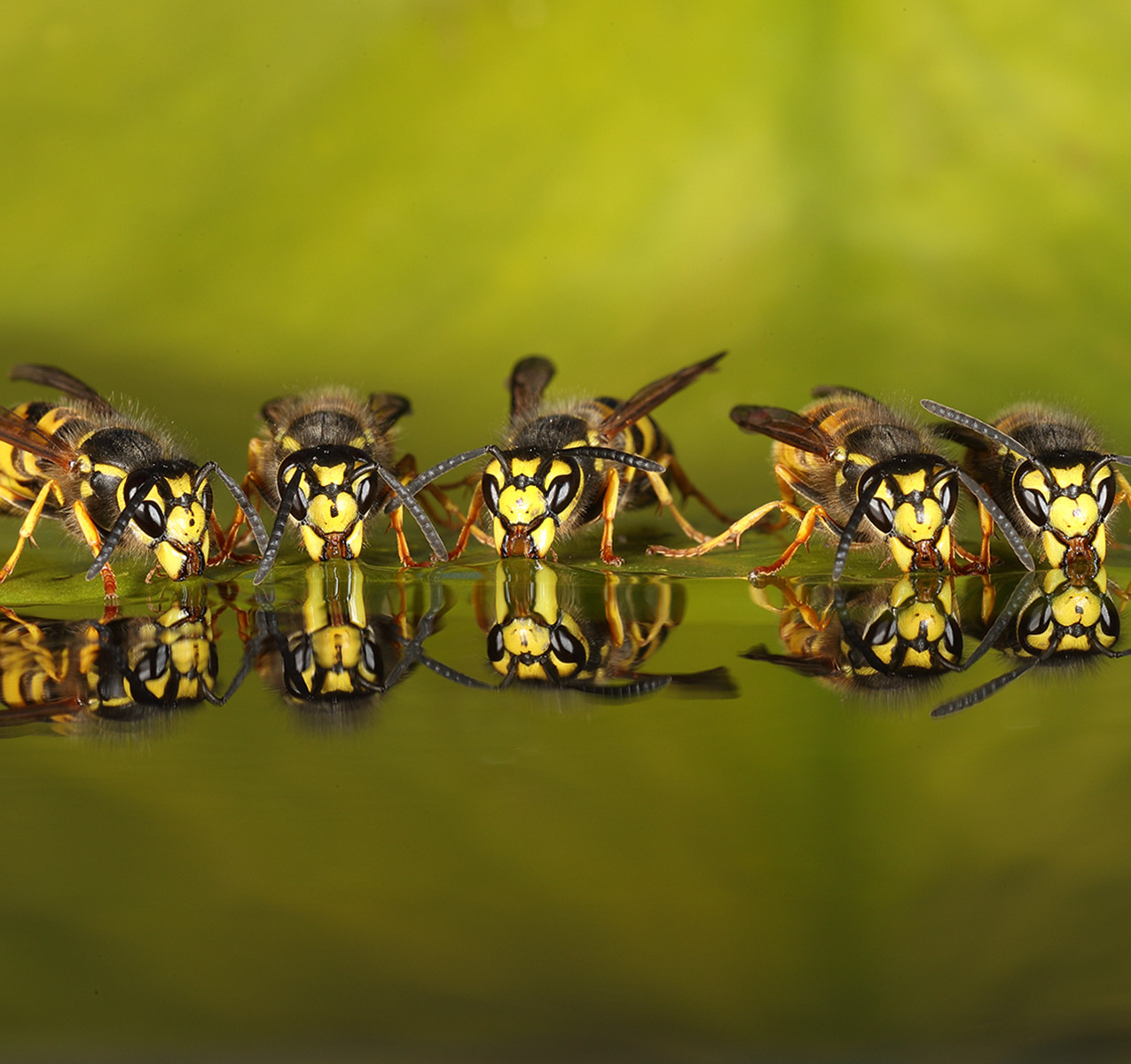 12730_Roy Rimmer_5 wasp drinking