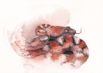 Painted saw-scaled viper