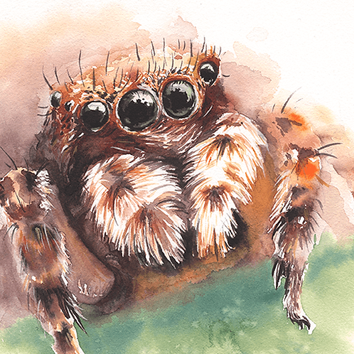 Jumping Spider - 40X30cm print