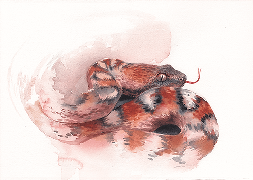 Painted Saw-Scaled Viper - 30X21 cm print