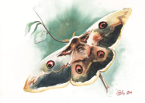 Peacock Moth - 30X21 cm print