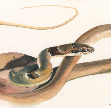 Dahl's Whip Snake