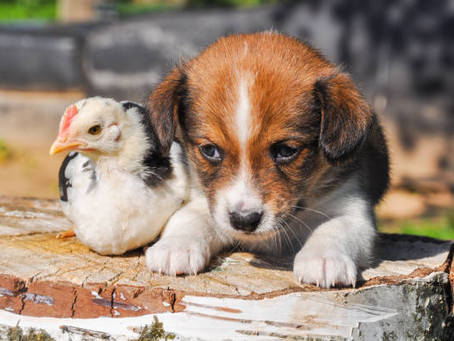 Female Dogs and Blind Chickens