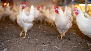Verbod op haantjes doden: wat betekent dat voor de pluimveesector en wat kunnen we doen?