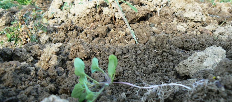 Kult Kress Fingerweeder Vineyard Weed Control Cultivator Solutions