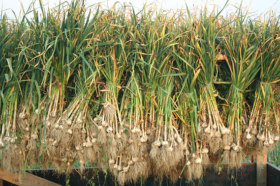 Garlic Drying Background.jpg