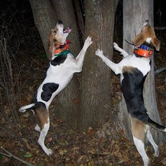 2 dogs treeing.jpg