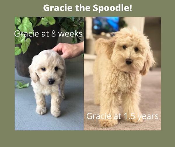 Gracie the Spoodle.png