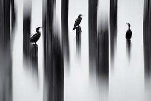 Painted Cormorants.jpg