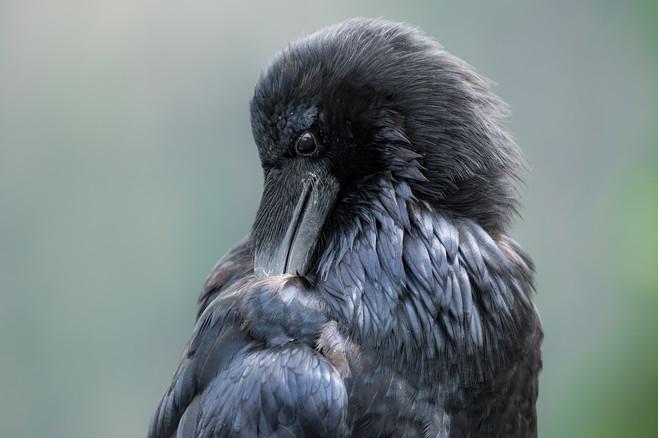 Raven Preen