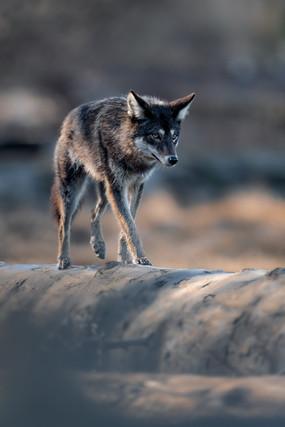 Black Coyote 1