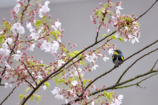 Warbler & Blossoms