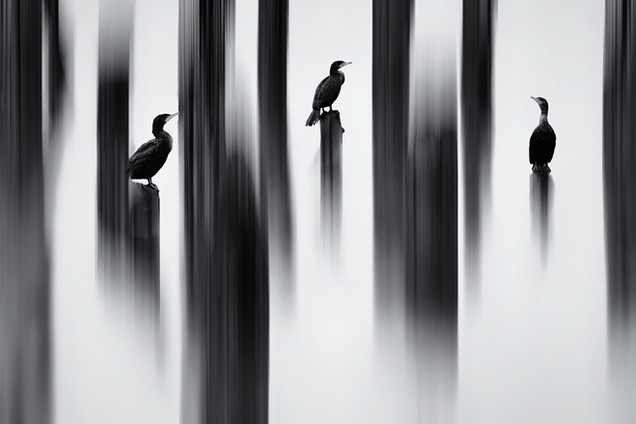 Painted Cormorants