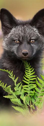 Fox & Fern