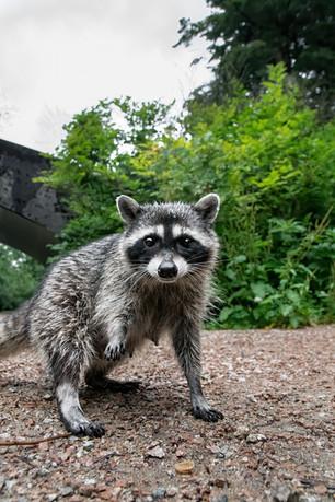 Raccoon Mama