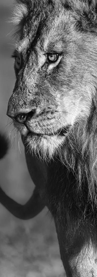 Lion Profile BW.jpg