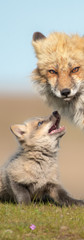 Fox Family Play.jpg