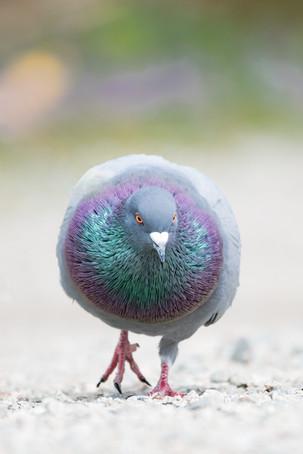 Rainbow Rock Dove
