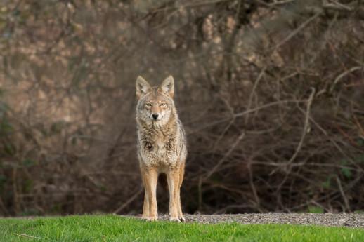 Coyote Staredown