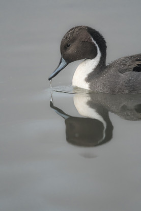 Pintail Reflected