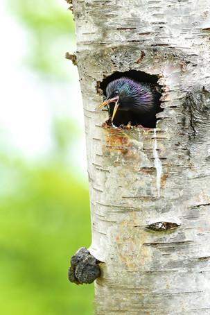 Starling Greeting
