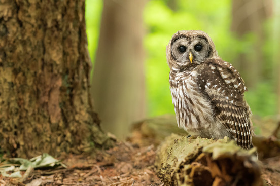 Ground Owlet