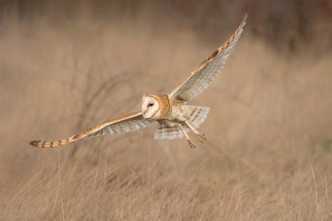 Barn Owl Lift Off